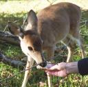 deer are often accused of spreading ticks infected with Lyme disease