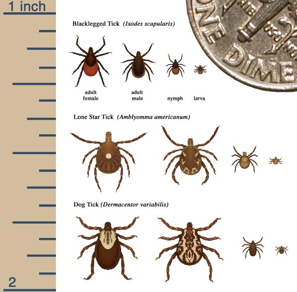 Showing the difference between the black legged tick and the other ticks in the USA