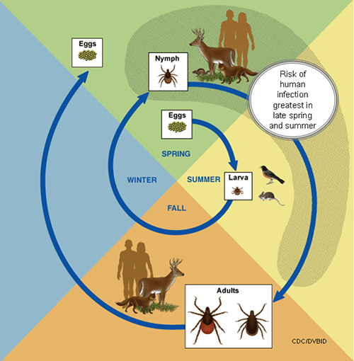 Lifecycle of the lyme disease tick - When is it the possible carrier of the lyme disease