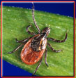 The blacklegged tick is the tick responsible for spreading lyme disease
